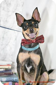Manchester Terrier Dog for adoption in West Orange, New Jersey - Rossi