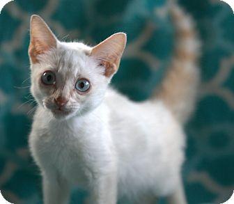 Siamese Kitten for adoption in Spring Valley, New York - Tabasco