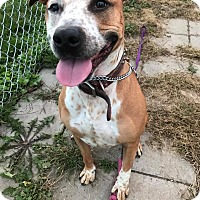 Pit Bull Terrier Mix Dog for adoption in Maryville, Missouri - Felicia
