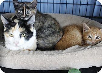 Domestic Shorthair Kitten for adoption in Polson, Montana - Roxanna & Ramsey