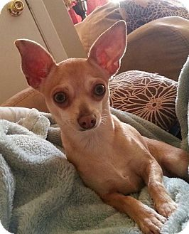 Chihuahua Mix Dog for adoption in Saddle Brook, New Jersey - Mia