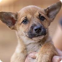 Adopt A Pet :: Olivia - Lakewood, CO