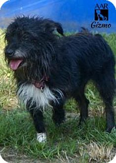 Terrier (Unknown Type, Small) Mix Dog for adoption in Tomball, Texas - Gizmo
