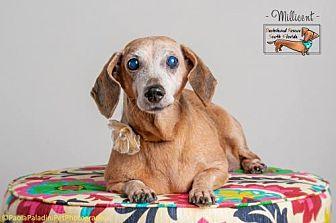 Dachshund Dog for adoption in Weston, Florida - Millicent