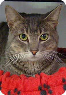 Domestic Shorthair Cat for adoption in Greenfield, Indiana - Monty