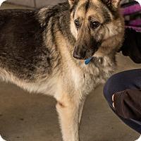 Adopt A Pet :: Capone - Phoenix, AZ