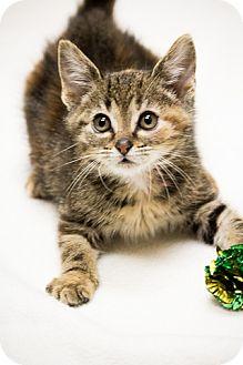 Domestic Shorthair Kitten for adoption in Chicago, Illinois - Bop