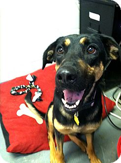 German Pinscher/Shepherd (Unknown Type) Mix Dog for adoption in Fort Riley, Kansas - Domino