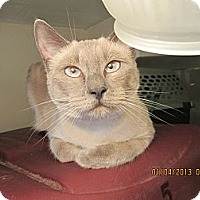 Siamese Cat for adoption in Long Beach, California - Amia