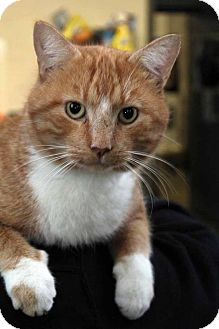 Domestic Shorthair Cat for adoption in Anderson, Indiana - Bullet