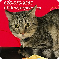 Domestic Shorthair Cat for adoption in Monrovia, California - A Young Male: RAY