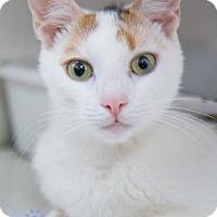 Adopt A Pet :: Coco - Merrifield, VA