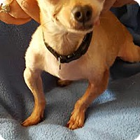 Adopt A Pet :: Levi - House Springs, MO
