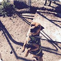 Adopt A Pet :: Taco - Encino, CA