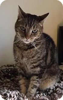 Domestic Shorthair Cat for adoption in Worcester, Massachusetts - Jackson