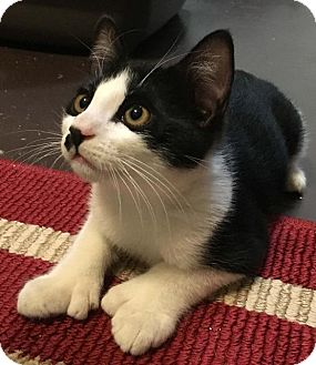 Domestic Shorthair Cat for adoption in Menifee, California - Penelope
