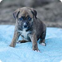 Adopt A Pet :: Aspen $250 - Seneca, SC
