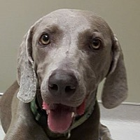 Weimaraner Dog for adoption in Birmingham, Alabama - Bing
