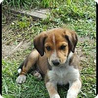 Adopt A Pet :: Piper - Inver Grove, MN