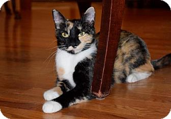 Domestic Shorthair Cat for adoption in Wichita, Kansas - Dolly Too