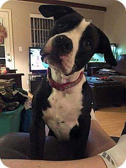 Pit Bull Terrier Mix Dog for adoption in Broken Arrow, Oklahoma - Roscoe