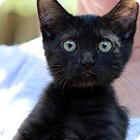 Adopt A Pet :: Firecracker - Rocklin, CA