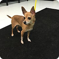Adopt A Pet :: ChiChi - Nashville, TN