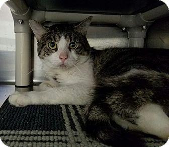 Domestic Shorthair Cat for adoption in Elyria, Ohio - Faulkner
