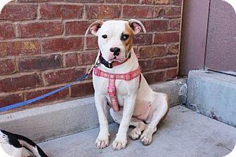American Staffordshire Terrier/American Bulldog Mix Dog for adoption in Los Banos, California - Estrada
