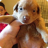 Labrador Retriever Mix Puppy for adoption in Wenonah, New Jersey - May/Marlee litter girl 1