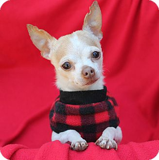 Chihuahua Dog for adoption in Irvine, California - Ikey