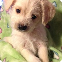 Terrier (Unknown Type, Medium) Mix Puppy for adoption in Colton, California - 8 DJ