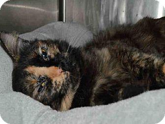 Domestic Mediumhair Cat for adoption in Olathe, Kansas - VAIL