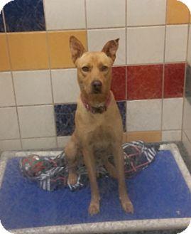 Labrador Retriever Mix Dog for adoption in Cat Spring, Texas - Boomer