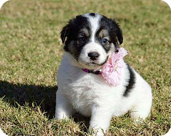 Border Collie Mix Puppy for adoption in Aubrey, Texas - Jasmin