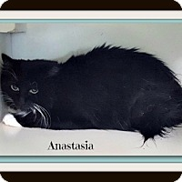 Domestic Longhair Cat for adoption in Tombstone, Arizona - Anastasia