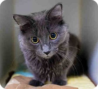 Russian Blue Cat for adoption in NYC, New York - Nikki RB/TA
