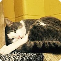 Adopt A Pet :: Cat Sajak - Pittsburg, KS