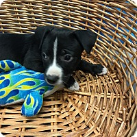 Adopt A Pet :: Calypso - Decatur, AL