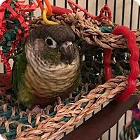 Adopt A Pet :: Star - St. Louis, MO