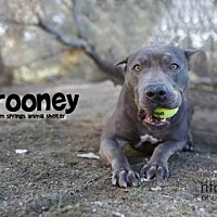 American Staffordshire Terrier Mix Dog for adoption in Palm Springs, California - Rooney