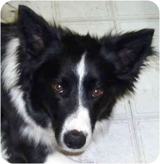 Minerva Oh Border Collie Meet Shawn A Dog For Adoption