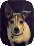 Rat Terrier Mix Dog for adoption in Jacksonville, Florida - Peanut