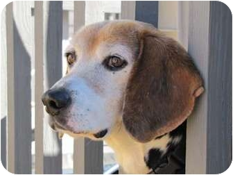 Beagle Dog for adoption in Waldorf, Maryland - Dexter