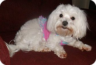 Maltese Dog for adoption in Mooy, Alabama - Priscilla
