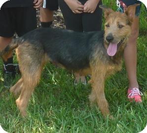 Eden | Adopted Dog | 19457616 | Bradenton, FL | Airedale ...