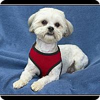 Adopt A Pet :: Teddy Bear - Fort Braff, CA