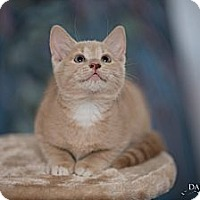Adopt A Pet :: Pinto - St. Louis, MO