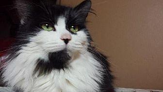 Domestic Mediumhair Cat for adoption in Grand Blanc, Michigan - Missy
