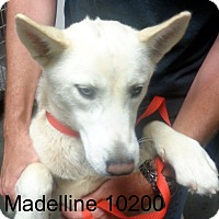 Adopt A Pet :: Madeline - baltimore, MD